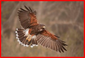 Hawk- Red Border